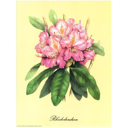 Image - Rhododendron - 24 x 30 cm